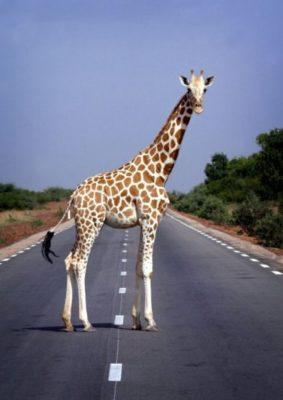 животные на дороге
